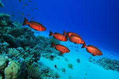Crescent-tail Bigeyes. Shoal of Crescent-tail Bigeyes on a coral reef Stock Photography