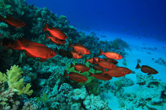 Crescent-tail Bigeyes. Shoal of Crescent-tail Bigeyes on a coral reef Stock Photo