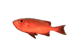 Crescent-tailed Bigeye Stock Photography