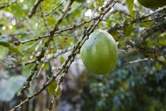 Crescentia cujete, συνήθως γνωστός ως μεγάλα φρούτα δέντρων Calabash στοκ εικόνα με δικαίωμα ελεύθερης χρήσης