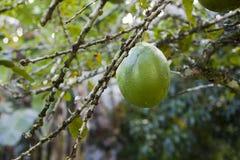 Crescentia cujete, algemeen bekend als groot fruit van de Kalebasboomboom royalty-vrije stock afbeelding