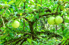 Crescentia cujete on Calabash Tree Stock Images
