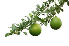 Crescentia Cujete Fruit Stock Photo
