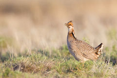 Crescer da primavera de Lesser Prairie Chicken Fotografia de Stock
