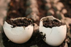 Crescer suas próprias plântulas pode ajudá-lo a salvar o dinheiro em plantas novas este método é a favor do meio ambiente e um di foto de stock