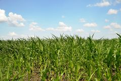 Crescere cereale Fotografie Stock Libere da Diritti