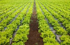 Crescere delle lattughe Fotografia Stock Libera da Diritti