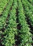 Crescere delle patate Fotografia Stock