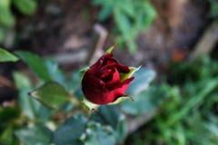 Crescere minuscolo del germoglio della rosa rossa Immagine Stock