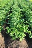 Crescere verde delle patate Fotografia Stock Libera da Diritti