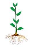 Crescimento ilustração royalty free