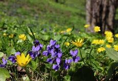 Crescimento amarelo das violetas e de flores da mola no gramado do parque Imagem de Stock