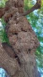 Crescimento anormal da árvore Foto de Stock Royalty Free