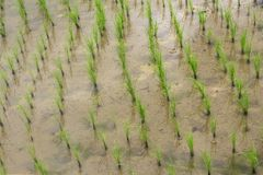 Crescimento da água da lama do campo do arroz Fotos de Stock Royalty Free