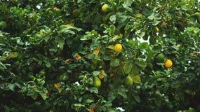Crescimento da árvore de mandarino Fotos de Stock