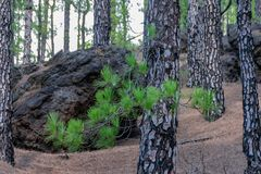 Crescimento da casca de árvore muitos meses após um incêndio florestal fotos de stock royalty free