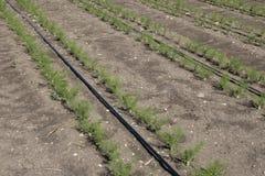 Crescimento da erva-doce Imagem de Stock Royalty Free