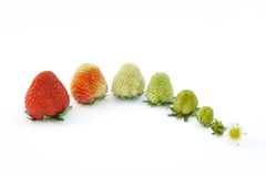 Crescimento da morango isolado no branco Imagens de Stock