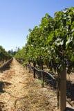 Crescimento da uva Fotos de Stock