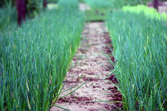 Crescimento das cebolas verdes Fotos de Stock Royalty Free