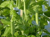 Crescimento das ervilhas verdes Imagens de Stock Royalty Free