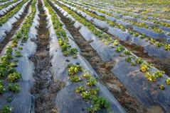 Crescimento das plantas de morango Imagem de Stock Royalty Free