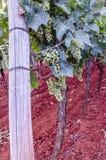 Crescimento das uvas Imagem de Stock
