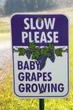 Crescimento das uvas do bebê Fotografia de Stock Royalty Free