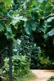 Crescimento das uvas para vinho Fotos de Stock