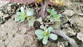 Crescimento de colheitas na areia enlameada belamente imagens de stock royalty free