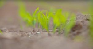 Crescimento de colheitas no solo cultivado na exploração agrícola video estoque