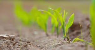 Crescimento de colheitas no solo cultivado na exploração agrícola filme