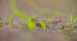 Crescimento de colheitas no solo cultivado na exploração agrícola vídeos de arquivo