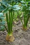 Crescimento de duas plantas do aipo de raiz Fotos de Stock