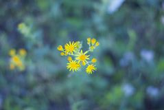 Crescimento de flor amarelo vulgar de Jacobaea no campo verde imagem de stock royalty free