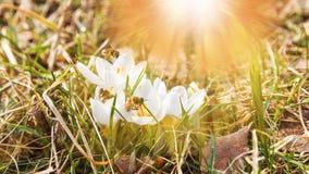 Crescimento de flor bonito dos açafrões na grama seca, o primeiro sinal da mola Fundo natural ensolarado sazonal de easter Imagem de Stock