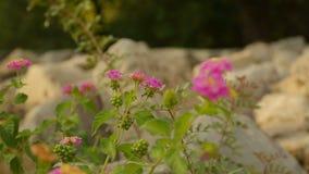 Crescimento de flor bonito em sobras da construção antiga, planta usada na medicina filme