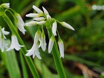 Crescimento de flor branca Fotografia de Stock