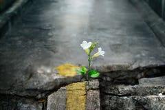 Crescimento de flor branca na rua da quebra, foco macio fotos de stock royalty free