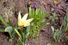 Crescimento de flor da mola Fotografia de Stock Royalty Free
