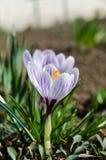 Crescimento de flor da mola do vernus do açafrão Imagens de Stock