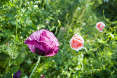 Crescimento de flor da papoila no jardim imagens de stock royalty free