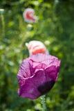 Crescimento de flor da papoila no jardim imagem de stock royalty free
