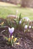 Crescimento de flor do açafrão no jardim na mola Fotos de Stock Royalty Free