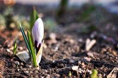 Crescimento de flor do açafrão para fora Imagens de Stock