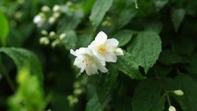 Crescimento de flor do jasmim em um jardim verde filme