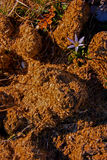 Crescimento de flor no estrume do cavalo Fotos de Stock