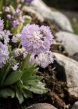 crescimento de flor roxo bonito entre pedras fotografia de stock royalty free