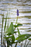 Crescimento de flor roxo em um pântano do norte foto de stock