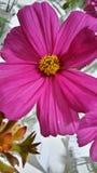 Crescimento de flor roxo fora Fotografia de Stock Royalty Free